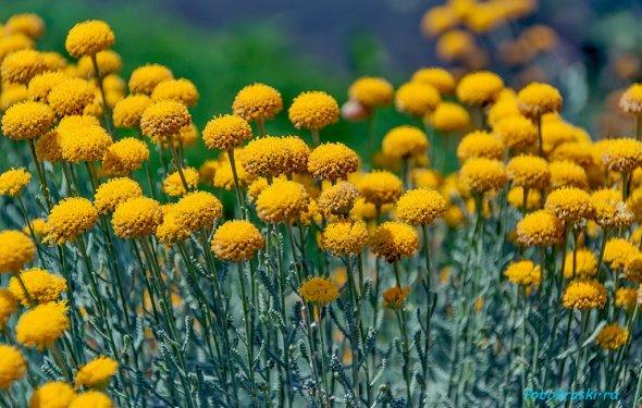 Желтые, летние, цветы